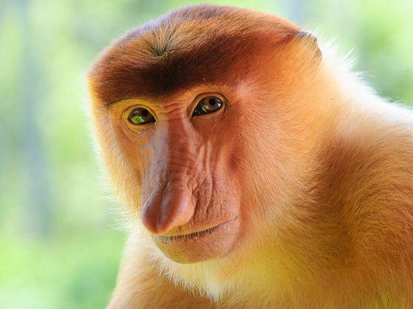 носата мавпа