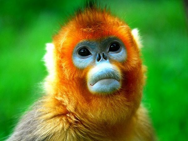 Мавпи кирпаті Золотоволоска