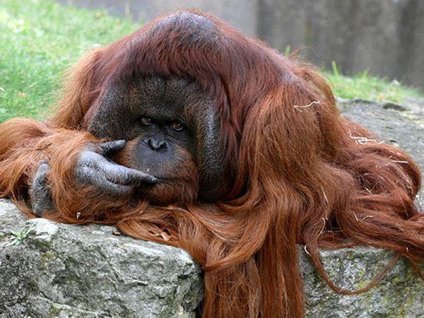 Калімантанскій орангутанг