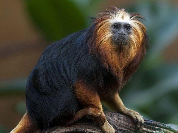 Мавпа Чорноголовий левиний Тамарін