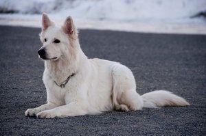Швейцарська біла вівчарка відпочиває