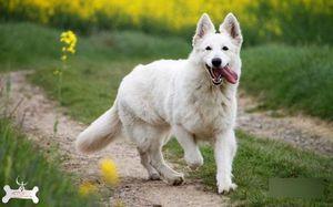 Мила швейцарська біла вівчарка фото