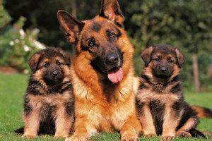 Сім`я німецьких вівчарок