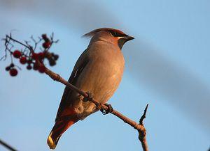 Які птахи мають чубчик на голові