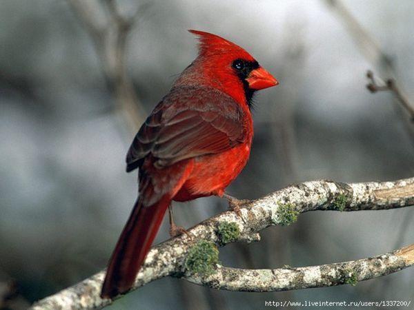 Пташки з чубчиком на голові