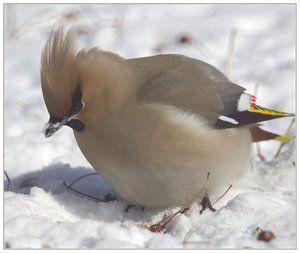 Птах з чубчиком