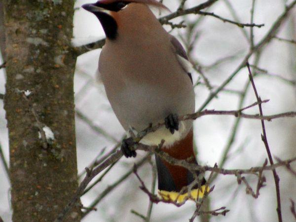 Опис птахів з чубчиком