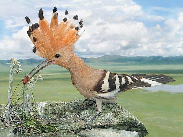 З чубчиком птиці
