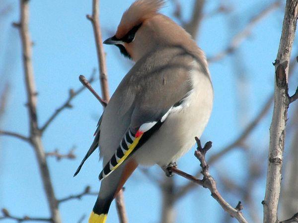 Назва птахів мають чубчики на голові