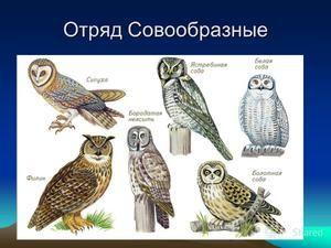 Druhy sov, ich mená a vlastnosti