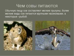 Як виводять сова совенят