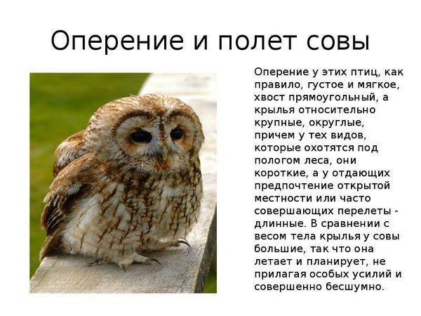 Зовнішній вигляд сови