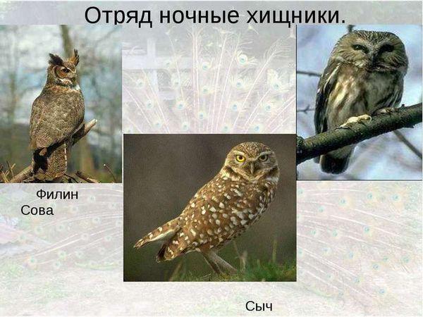 розмноження сов