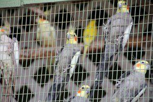 Druhy stredných papagájov