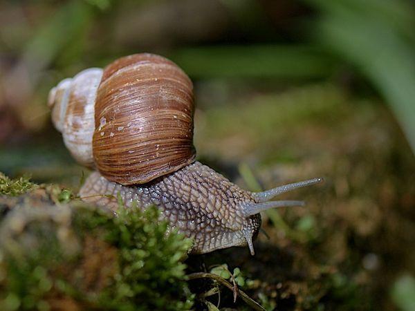 Молюски в саду - равлики