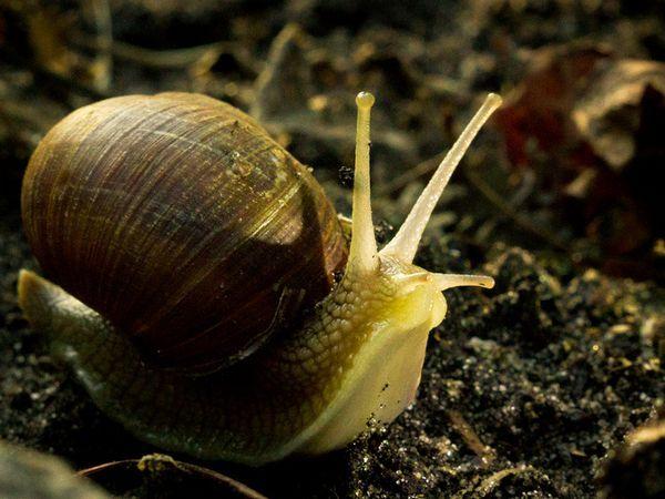 Садова равлик - різновид молюсків на суші