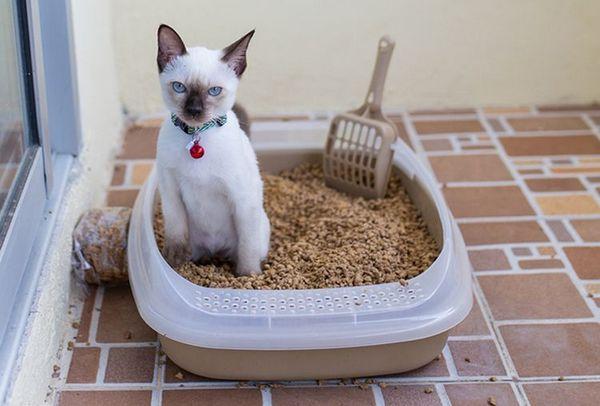 Кішка в лотку
