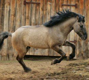Вятская порода коней: характеристика, особливості змісту