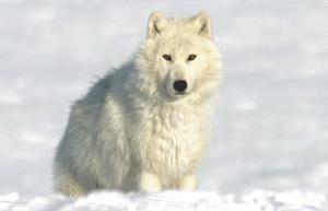 Цікаві факти про полярне вовка