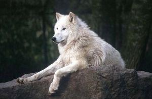 Цікаве про полярних вовків
