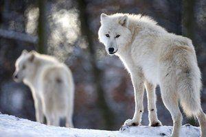 Зграя полярних вовків