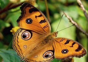 Външният вид, местообитанието и храненето на паунова пеперуда