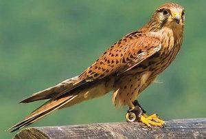 Vzhľad, biotop a životný štýl dravého vtáka - sokola