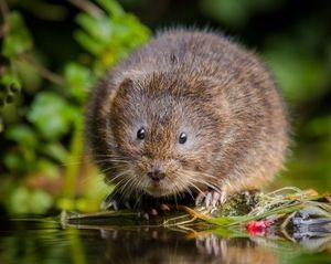 Metódy regulácie vodných potkanov alebo hrabošov