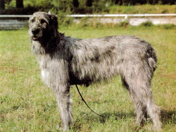 Характер собаки вовкодав