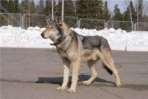 Vlčie psy: popis, charakter, cena a fotografia vlčieho psa