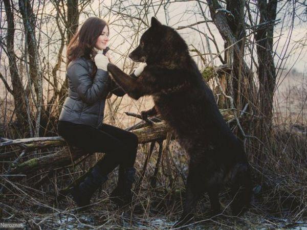 Яких розмірів собаки породи волкособ