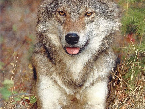особливості волкособи