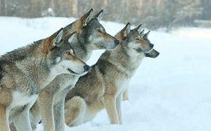 Волкособи - результат схрещування вовка і німецької вівчарки