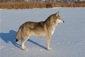 Гіюрід вовка і собаки