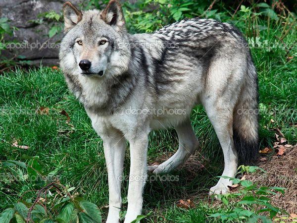 Відмінні риси собаки волкособ