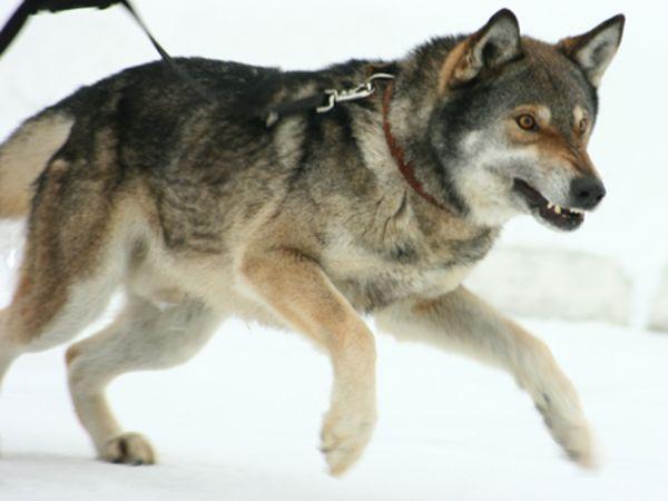 Як виглядає собака волкособ