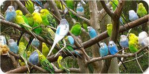 Як доглядати за хвилястим папугою