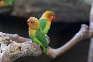 Що впливає на тривалість життя папуги