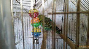 Тривалість життя хвилястого папугу