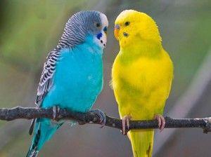 Хвилястий папуга-опис