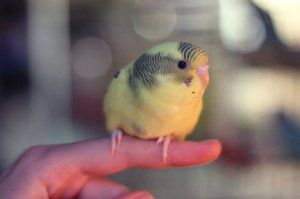 Пташенята хвилястого папугу