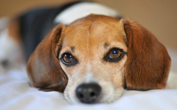 Roztoč srsti u psov: príznaky, diagnostika a terapia