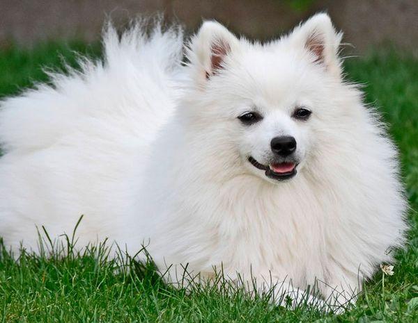 собака породи Вольпін італійсько
