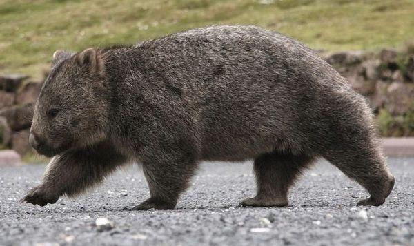 Wombat идва
