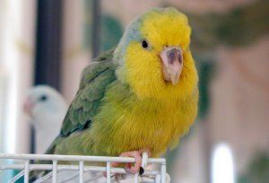 горобиний папужка
