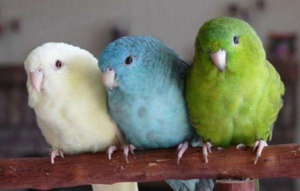 горобині папужки