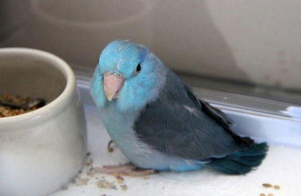 Горобиний папужка їсть