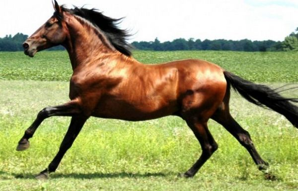 Ганноверський кінь