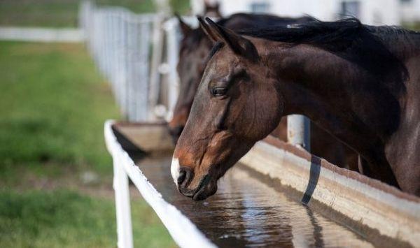 Кінь п`є воду