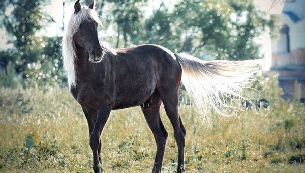 Сріблясто ворона коня